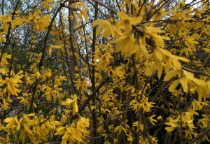 April 2019 Forsythien SPD Oranienburg
